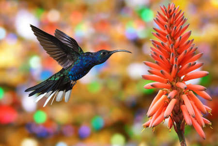 rare animals: Hummingbird Violet Sabrewing over colorful background