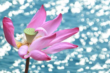 lily flowers: Water lily flower over blue water background