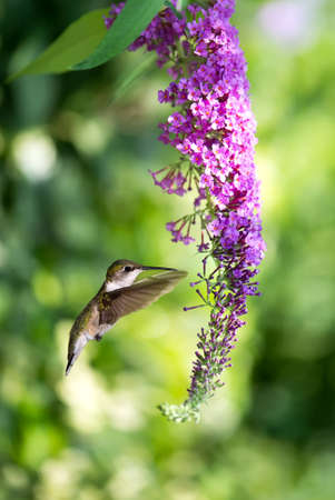 wisteria: Delicate petals of purple flower blooms with tiny Hummingbird