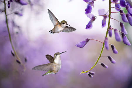 rare animals: Delicate lavender petals of purple wisteria blooms with two Hummingbirds