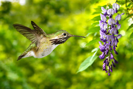 wisteria: Hummingbird over green background with purple wisteria Stock Photo