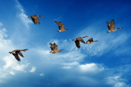 pajaros volando: Birds flying against blue sky in the background environment or ecology concept Foto de archivo