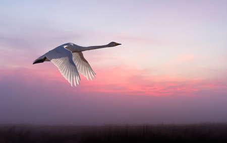 genera: Beautiful crane in flight against sunset sky