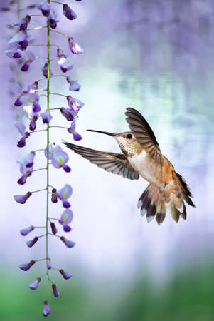 wisteria: Delicate lavender petals of purple wisteria blooms with tiny Hummingbird