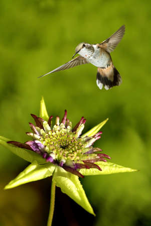 tropical forest: Hummingbird hover in mid-air in the garden vertical image Stock Photo