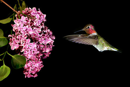 hover: Hummingbird hover in mid-air in the garden on black background Stock Photo