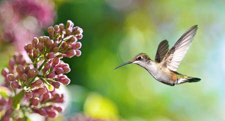 hovering: Hummingbird Hovering on Lilac over bright summer background Stock Photo