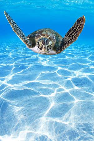 fish water: Tropical Sea turtle (Eretmochelys imbricata) swimming in the depth Stock Photo