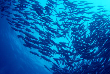 ecosystems: Underwater fishes swimming on blue background