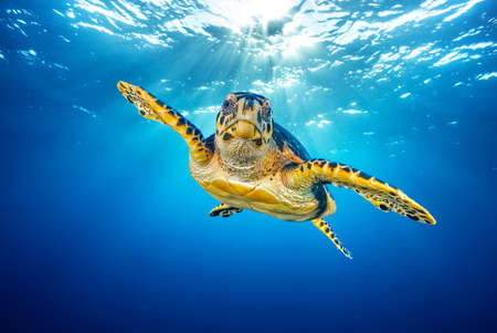 Sea turtle (Eretmochelys imbricata) swimming in the depth