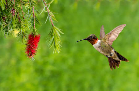 hovering: Ruby-throated Hummingbird with Red Bottlebrush flower over green summer background Stock Photo