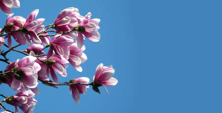 cielo azul: Blooming Magnolia flower over blue sky panoramic view Foto de archivo