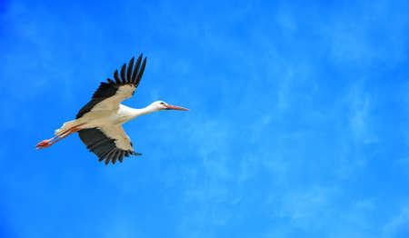 genera: Elegant white stork across clear blue sky