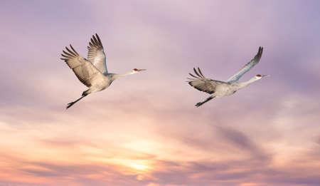 genera: Beautiful tropical cranes against soft pink sky