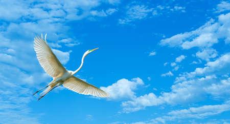 genera: Elegant white Great Egret over blue cloudy sky Stock Photo