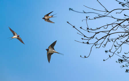 Barn swallows on blue sky background 스톡 콘텐츠