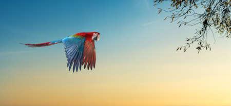 eucalyptus tree: Parrot in nature habitat and eucalyptus tree Stock Photo