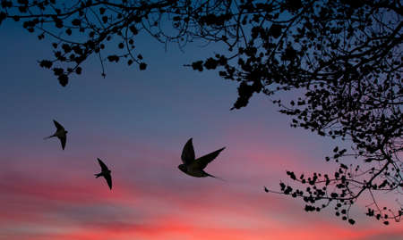 Barn swallows over sunset and tree silhouettes