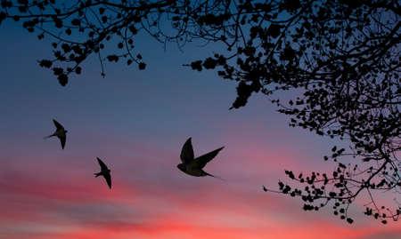 golondrinas: Tragos de granero sobre puesta del sol y del �rbol siluetas Foto de archivo