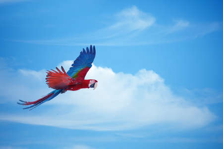 parrot flying: Beautiful blue and red macaw flies across cloudy sky