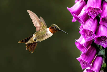 hovering: Hummingbird hovering next to pink flower over green background Stock Photo