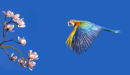flight: Colorful parrot with magnolia flowers against blue sky panoramic view