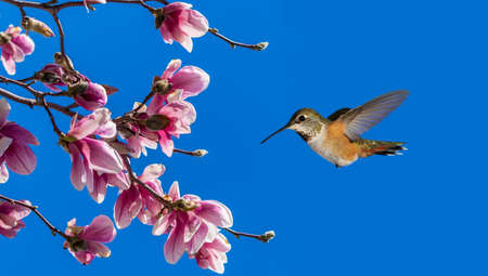 rufous: Rufous Hummingbird flying against blue sky background with Blooming Magnolia Stock Photo