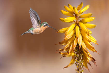 hover: Hummingbird hover in mid-air in the garden Stock Photo