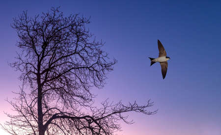 outspread: Free flying bird swallow on night sky background