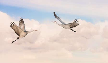 genera: Beautiful tropical cranes in flight against blue sky