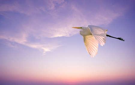genera: Elegant white Great Egret over pink sunset sky background