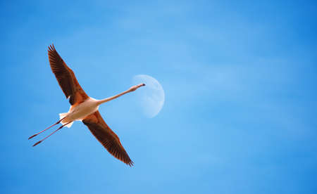 wetland conservation: Beautiful flamingo in flight against blue sky panoramic image