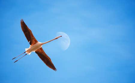 genera: Beautiful flamingo in flight against blue sky panoramic image