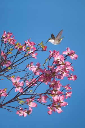 flores moradas: Colibrí con las flores púrpuras y cielo azul de fondo