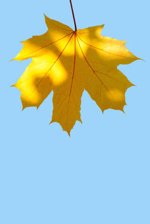 vertical image: Maple leaf in sunny day vertical image vertical image