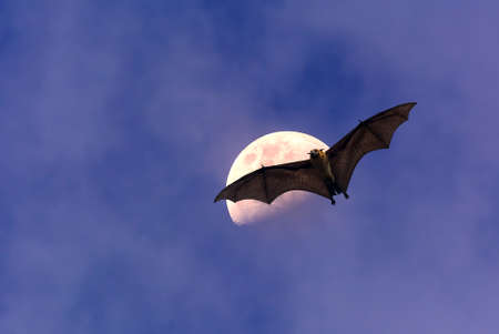 over the moon: Halloween night with bat flying over moon