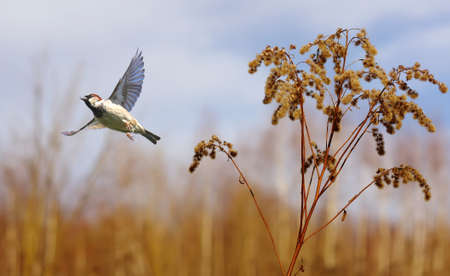 outspread: Flying House Sparrow against autumn background Stock Photo