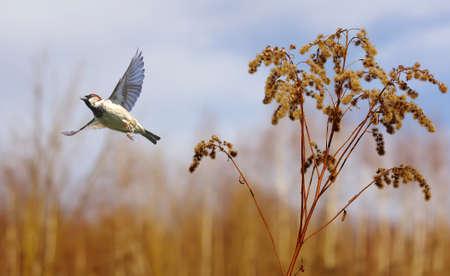atmosfera: Flying House Sparrow contra el fondo de otoño