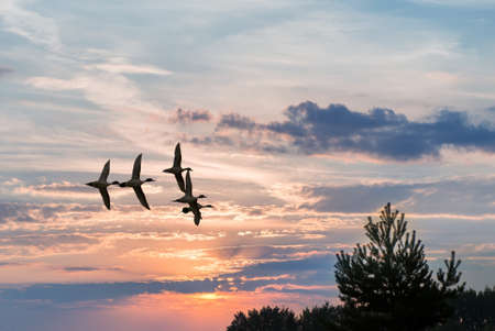 outspread: Birds flying against evening sunset environment or ecology concept