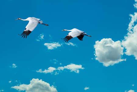 genera: White long-necked birds against blue sky Stock Photo