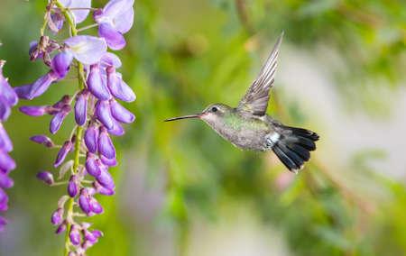보라색 등나무와 녹색 배경 위에 Hummingbird 스톡 콘텐츠
