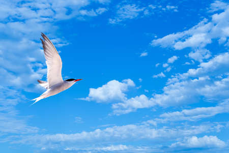 gulls: Silver Gull in Flight over bright sky background