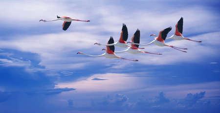 genera: Beautiful tropical bird flamingoes in flight against blue sky panoramic image Stock Photo