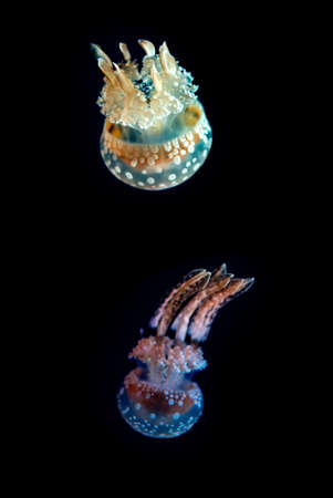 branched: Rhizostomeae jellyfish Species with eight highly branched oral arms