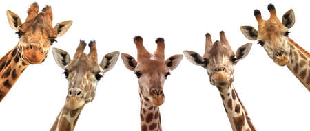 Giraffes closeup portrait isolated on white background panoramic view