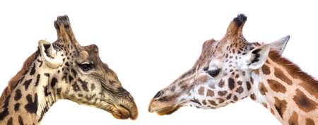 savannas: Giraffes closeup portrait isolated on white background panoramic view