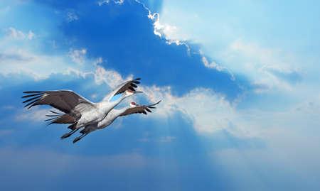 genera: Beautiful tropical cranes in flight against blue sky panoramic image