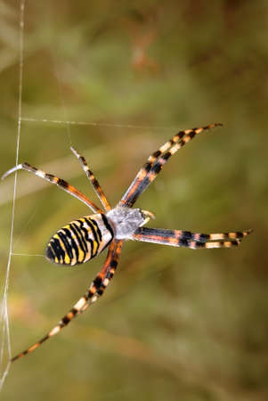 brawn: Wasp spider (Argiope bruennichi) over blurred brawn background