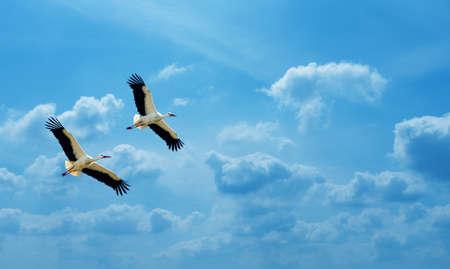 genera: Beautiful white storks against soft blue sky panoramic view
