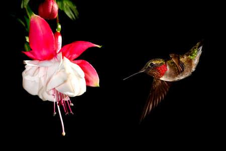fuchsia flower: Male Ruby-Throated Hummingbird feeding on Hardy Fuchsia Flower
